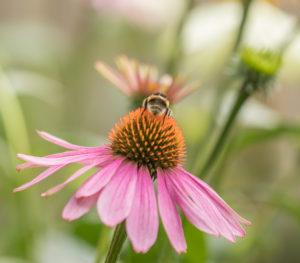 gazette, bio, santé, nature, immunité, système immunitaire, échinacée, echinacea purpurea, échinacée pourpre, phytothérapie, plante