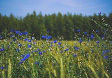 gazette, bio, beauté, bien-être, bien etre, bleuet, bleuet plante, bleuet des champs, bleuet yeux, bleuet yeux gonflés, bleuet yeux fatigués, bleuet yeux rouges, bleuet yeux secs, eau bleuet yeux, hydrolat bleuet yeux, compresse bleuet yeux, tisane bleuet yeux