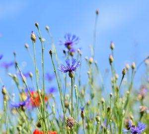 bien-être, bien etre, bio, gazette, gazette bio, nature, naturel, santé, jardin, prairie fleurie, prairies fleuries, prairie fleurie basse, prairie fleurie mellifère, prairie fleurie composition, prairie fleurie ombre, prairie fleurie entretien, prairie fleurie bio