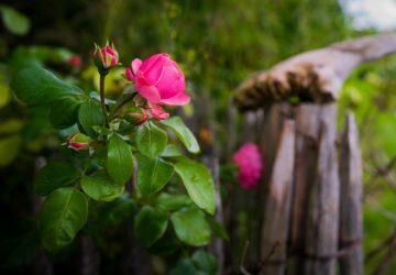bien etre, bio, gazette, gazette bio, hiver, jardin, jardinage, nature, printemps, rose, rosier, rosier arbustif, rosier arbustif taille, rosier buisson, rosier buisson pour haie, rosier buisson taille, rosier couvre sol, rosier taille, rosier taille après floraison, rosier taille de printemps, rosier taille ete, rosier taille fleurs fanées, rosier taille floraison, rosier taille juillet, rosier taille periode, rosier taille severe, rosier tailler trop court, rosier tige, rosier valentin, santé