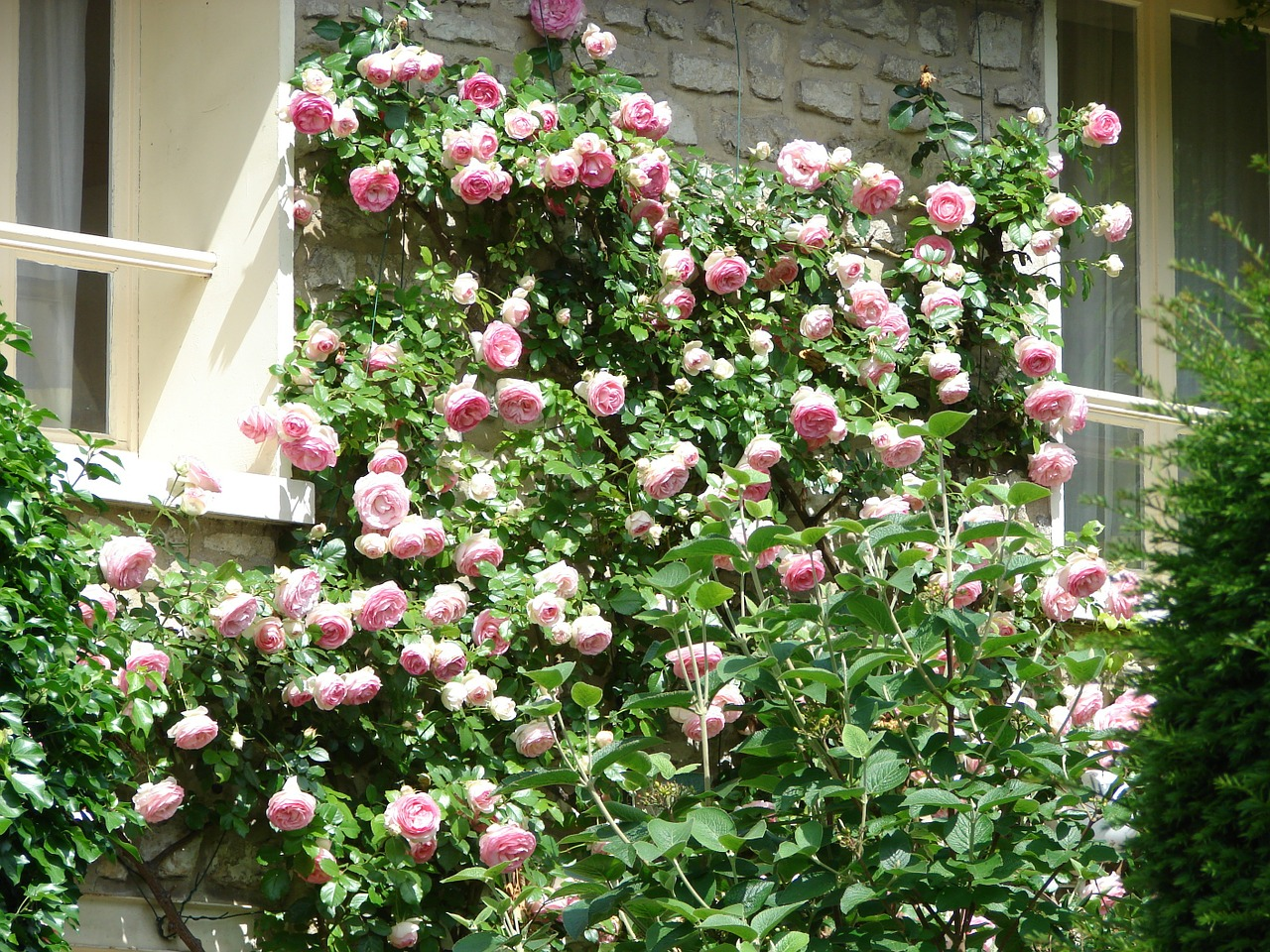 bien etre, bio, gazette, gazette bio, hiver, jardin, jardinage, nature, printemps, rose, rosier, rosier arbustif, rosier grimpant, rosier grimpant taille, rosier liane, rosier liane persistant, rosier liane remontant, rosier liane taille, rosier taille, rosier taille après floraison, rosier taille de printemps, rosier taille ete, rosier taille fleurs fanées, rosier taille floraison, rosier taille juillet, rosier taille periode, rosier taille severe, rosier tailler trop court, rosier valentin, santé