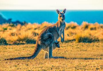 aider bébés kangourous, animaux, Australie, bébé, bebe kangourou australie, bébé kangourou poche, bébés kangourous orphelins, Catherine Valmalette, Christian Guerry, couture, Germaine Guérin, germaine guérin bébés kangourous, germaine guérin kangourou, kangourou, kangourou australie, kangourou australie feu, kangourous, koala, koalas, maison germaine guérin, marsupial, marsupiaux, Océanie, opossum, opossums