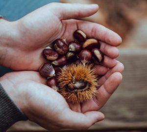 aescine, Aesculus hippocastanum, bio, Castanea sativa, Castanea vesca, châtaigne, chataigne au four, chataigne marron, chataigne marron bogue, chataigne marron comestible, chataigne marron différence, chataigne marron toxique, chataigne recette, châtaignes, châtaignier, forêt, gazette bio, marron, marron au four, marron chataigne, marron chataigne comestible, marron chataigne couleur, marron chataigne cuisine, marron chataigne toxique, marron chaud, marron comestible, marron couleur, marron d'inde, marron glacé, marronnier, marronnier commun, marronnier d'Inde, marrons, promenade, saponines